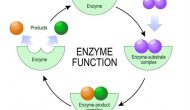 Enzyme diet has become a hot topic in recent years