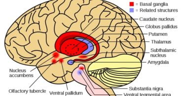 Brain Diseases: Basal ganglia and related structures